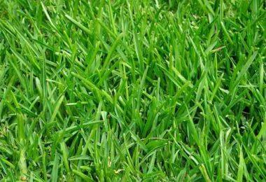 Comment avoir une pelouse verte et dense ?